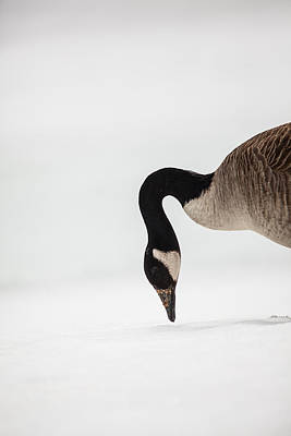 Canada Goose Point Print by Karol Livote