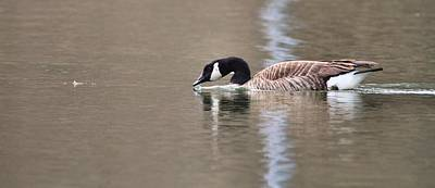 Goose Photograph - Canada Goose Swimming by Dan Sproul