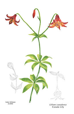English Gouache Painting - Canada Lily by Judy Gilman