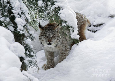 Shelley Myke Photograph - Canada Lynx Hiding In A Winter Pine Forest by Inspired Nature Photography Fine Art Photography