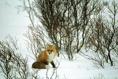 Reynolds Photograph - Canada, Yukon, Red Fox, Winter, Snow by Gerry Reynolds