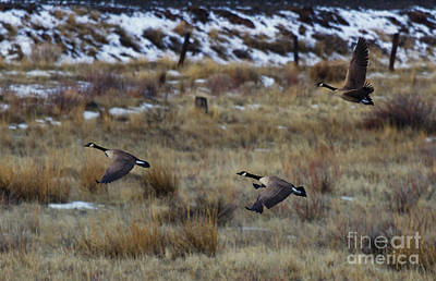Canadian Geese In Flight Original by Mike  Dawson