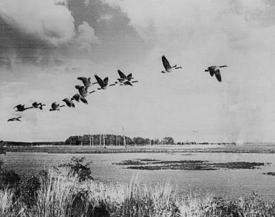 Looking Away From Camera Photograph - Canadian Geese by Retro Images Archive
