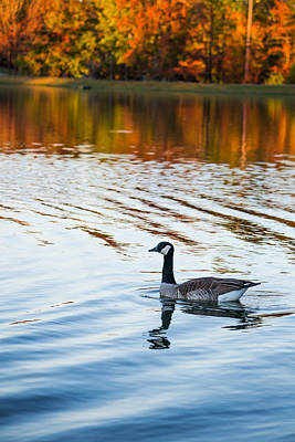 Autumn Photograph - Canadian Goose Floating Across The Lake by Shelby  Young