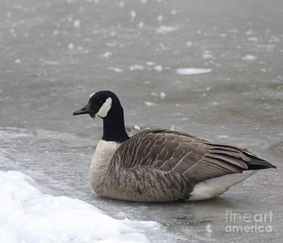Canadian Goose In Winter Time In Manhassett Park Print by John Telfer