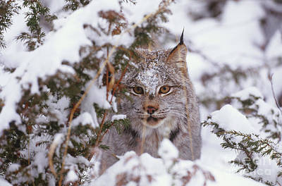 Canadian Lynx Photograph - Canadian Lynx by Art Wolfe