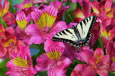 Canadian Tiger Swallowtail Butterfly Print by Darrell Gulin