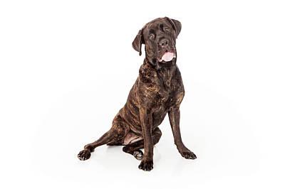 Cane Corso Dog Sitting To Side Print by Susan  Schmitz
