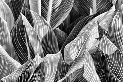 Canna Lilies In Monochrome Print by Jason Politte