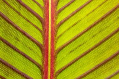 Canna Lily Red Stripe  Print by Marina Kojukhova