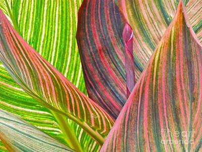Canna Tropicana Color Print by Eve Spring