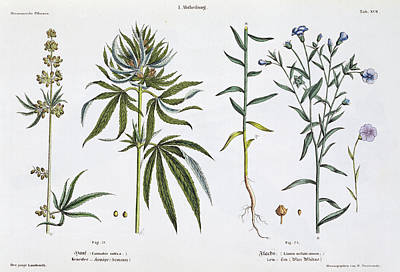Hemp Painting - Cannabis And Flax by Matthias Trentsensky