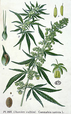 Hemp Painting - Cannabis by French School
