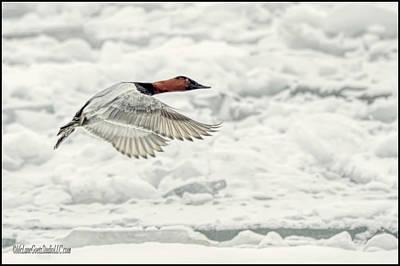 Wings Photograph - Canvasback Duck In Flight by LeeAnn McLaneGoetz McLaneGoetzStudioLLCcom