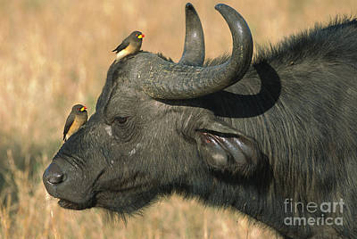Cape Buffalo And Red-billed Oxpecker Print by
