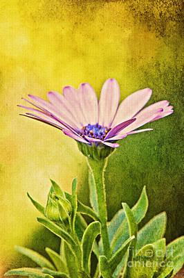 Osteospermum Photograph - Cape Daisy by Lois Bryan
