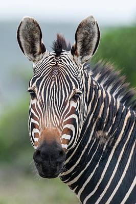 Zebra Photograph - Cape Mountain Zebra Stallion by Peter Chadwick