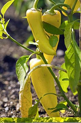 Capsicum Annuum 'inferno Hot Peppers' Print by Science Photo Library