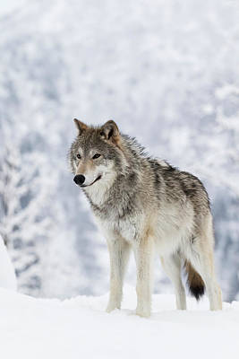 Captive  Female Tundra Wolf In Snow Print by Doug Lindstrand