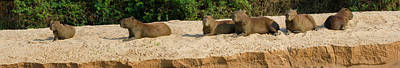 Negro Photograph - Capybaras Resting On Sand, Rio Negro by Panoramic Images