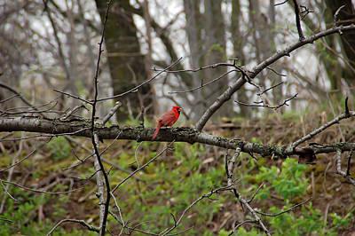 Cardinal Photograph - Cardinal by Aimee L Maher Photography and Art Visit ALMGallerydotcom