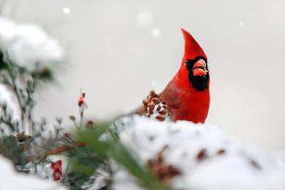 Cardinal Digital Art - Cardinal by Christina Rollo