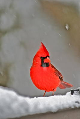 Cardinal In Snow By Mother Nature Print by Maggie Vlazny