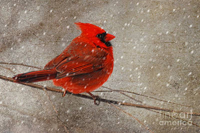 Cardinal In Snow Print by Lois Bryan