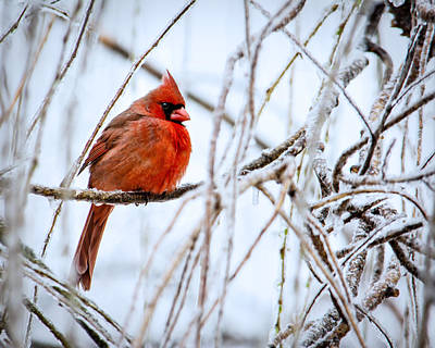 Cardinal In The Willow IIi Print by Jon Woodhams