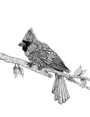 Cardinal Print by Lee Halbrook