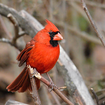 Cardinals. Wildlife. Nature Photograph - Cardinal On A Broken Branch - 06.09.2014 by Jai Johnson