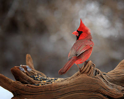 Male Northern Cardinal Photograph - Cardinal On A Log by Bill Wakeley