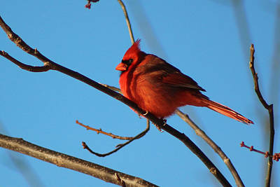 Cardinal On Bare Branch Print by Lorna Rogers Photography