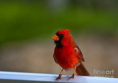 Northern Cardinal Photograph - Cardinal Red by Mike  Dawson
