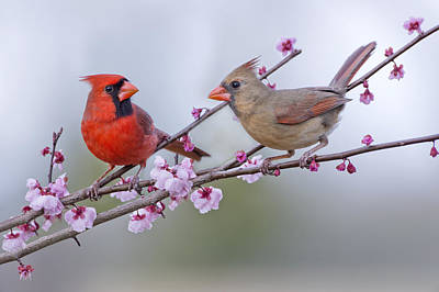 Cardinals In Plum Blossoms Print by Bonnie Barry