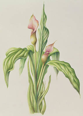 Lilies Drawing - Carla Lily by Annabel Barrett
