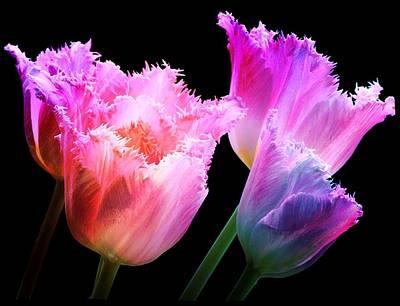 Buy Digital Art - Carnival Tulips by Debra  Miller
