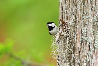 Ditto Photograph - Carolina Chickadee (poecile Carolinensis by Larry Ditto