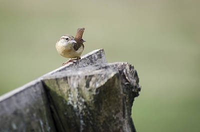 Wren Photograph - Carolina Wren by Heather Applegate