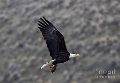 Talons Photograph - Carrying A Meal by Mike Dawson