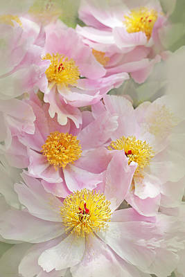 Paeony Photograph - Cascading Pink Peony Flowers by Jennie Marie Schell