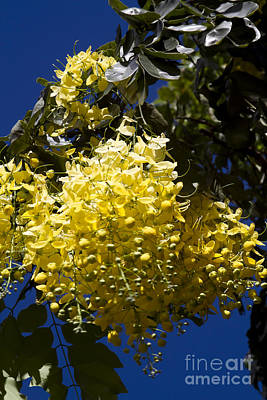 Cassia Photograph - Cassia Fistula - Golden Shower Tree by Sharon Mau