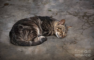 Tabby Cat Photograph - Cat On A Hot Summer Day by Mary Machare