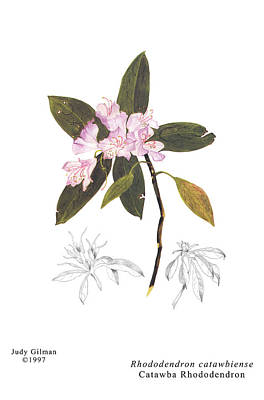 English Gouache Painting - Catawba Rhododendron by Judy Gilman