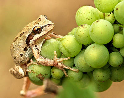 Pinot Noir Photograph - Catching A Ride On The Pinot by Jean Noren
