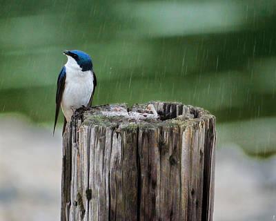 Tree Swallow Photograph - Catching Raindrops by Jai Johnson