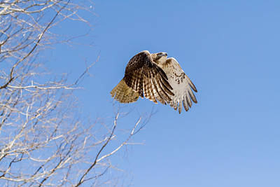 Hawk Photograph - Catching The Sun by Bill Wakeley