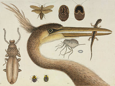Catesby's The Natural History Of Carolina Print by Natural History Museum, London