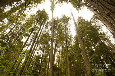 Cathedral Forest Print by Artist and Photographer Laura Wrede