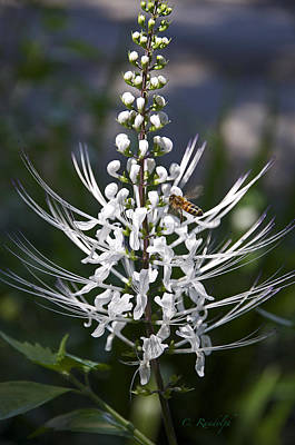 Cats Whiskers Bloom Photograph - Cat's Whiskers by Cheri Randolph